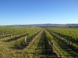 vineyard_mudgee